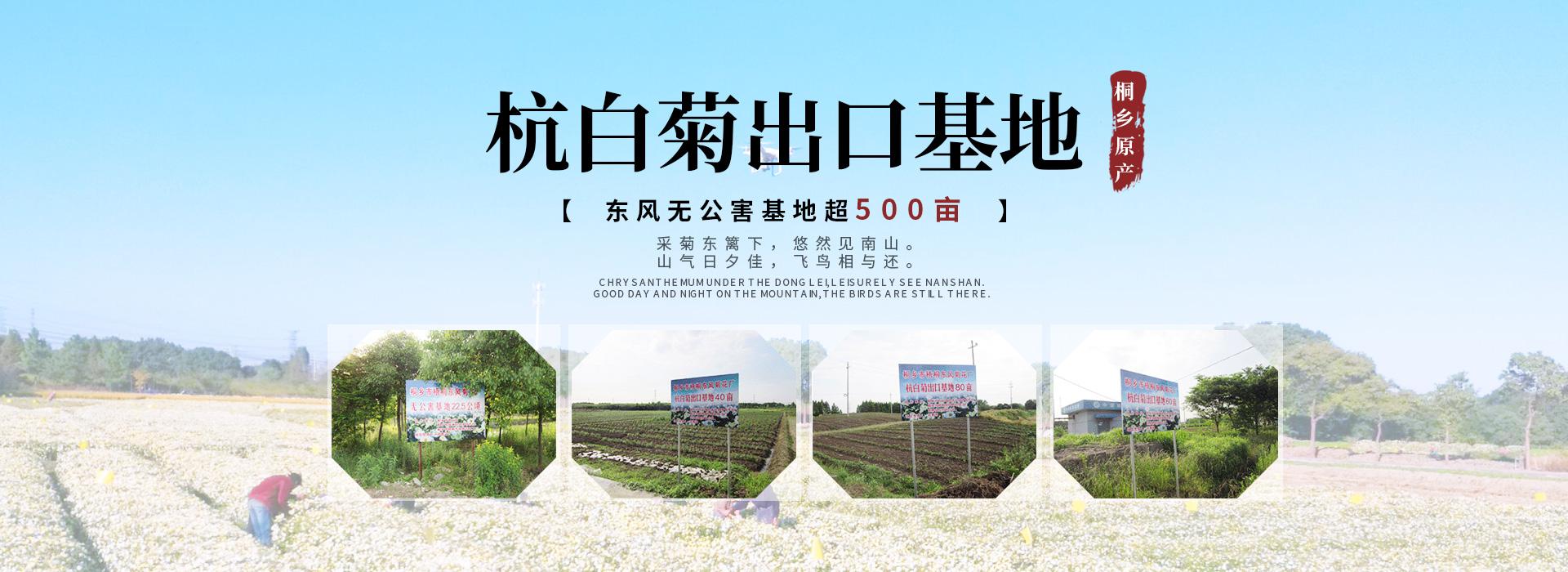 桐乡菊花生产基地